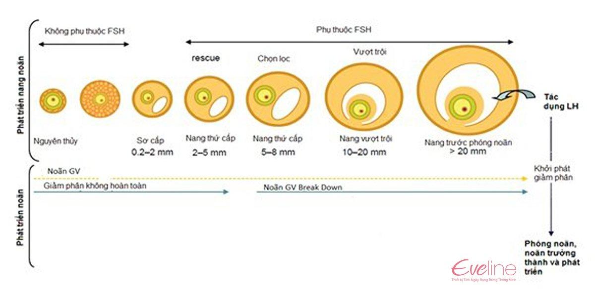 Kích thước của nang noãn quan từng giai đoạn phát triển